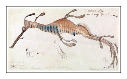 Ludwig Becker-Weedy Seadragon Phyllopteryx foliatus