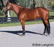 American Quarter Horse  Breed