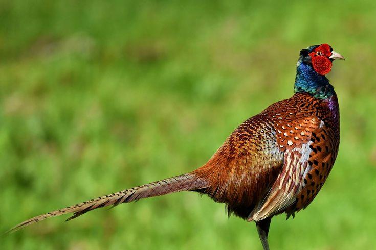 Kostenloses Bild Auf Pixabay Fasan Vogel Gefieder Natur Tier Fasan Vogel Kostenlose Bilder