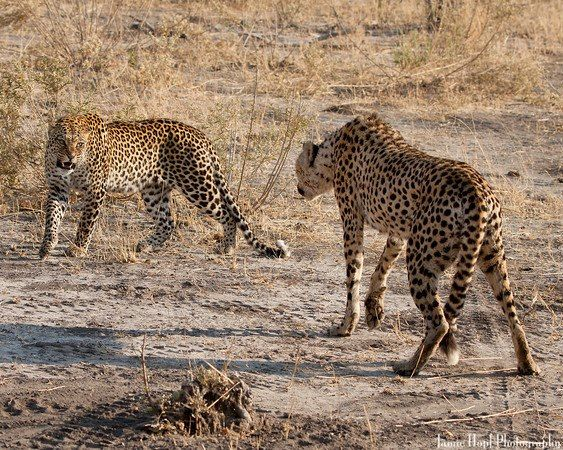 Leopard vs. cheetah. | Leopards are awesome | Pinterest ...