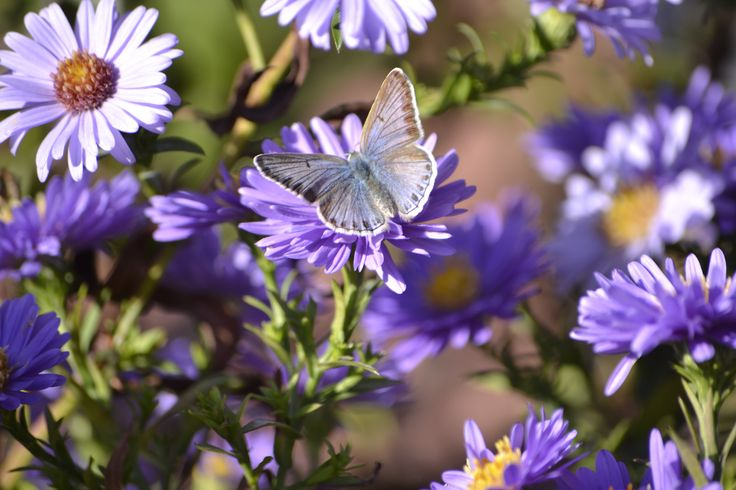 Blue Butterfly and violet asters