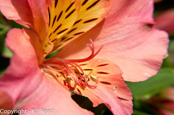 Close up of an Alstroemeria, or Princess Lily - 21 June 2015