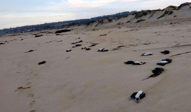 * Macabre marée rouge au large des côtes chiliennes http://www.courrierinternational.com/article/environnement-macabre-maree-rouge-au-large-des-cotes-chiliennes Panique au Chili : 10 000 calmars, 330 baleines, des pélicans, des pingouins et dauphins trouvés...