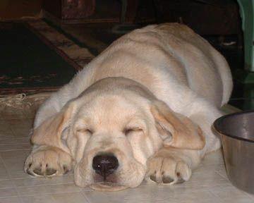 Labrador bambini ~ 77 best labrador pup love images on pinterest fluffy pets