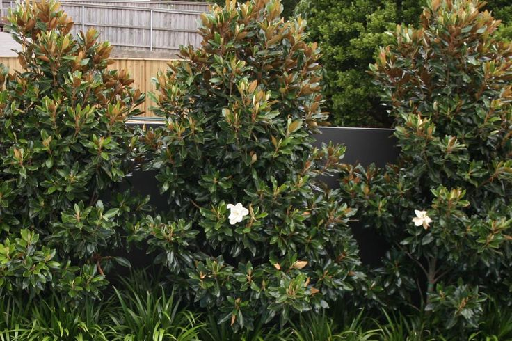 / / . Magnolia Grandiflora 'Little Gem' or 'Teddy Bear' dwarf varieties make beautiful evergreen hedges. Height: 20-25' but can be kept 13'. Width: 10-15'. Plant 4' apart. During early years, tip prune new growth by half all around individual trees for good structure and dense form in maturity. Once each plant is thick, prune the face and top of hedge as wide or tall as you like, perhaps 2.5' wide by 13' tall. Round the top.