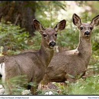 Anise oil is used by deer hunters to attract deer; it also doubles as as a scent cover. Originally used for attracting bear, bear hunters discovered that with an increased deer population, anise oil also successfully attracted deer. Using anise oil to attract deer is a simple process.