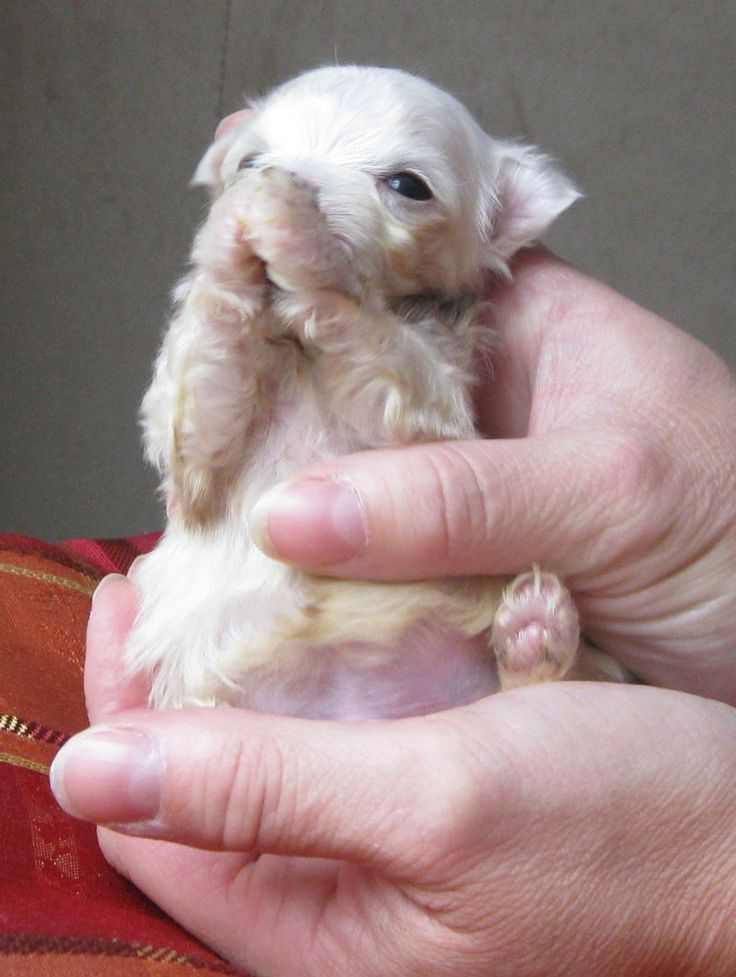 TEACUP MALTESE PUPPY FROM LACHICPATTE.COM