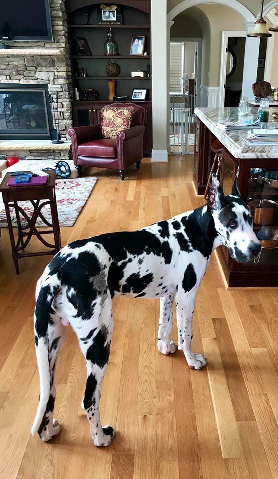 Otis The Harlequin Great Dane 6 Months Old 3 Greatdanepuppy