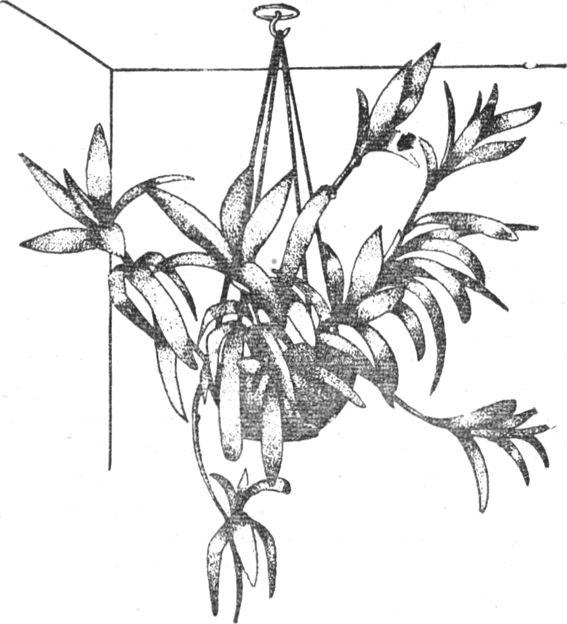 Ассортимент декоративных растений для гидропоники,Что такое гидропоника, гидропоника и цветочные культуры, растения выращенные без почвы, растения выращенные на питательных эксатах, керамзитные культуры, опилки и камни, гравий вместо почвы, нужна ли почва растениям, питательные среды для растений, выращивание растений воздушнокапельным путем, Гидропоника и цветоводство, что такое гидропоника, выращивание растений без почвы