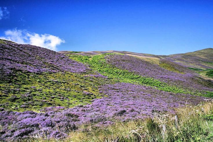 Heather Blooming In Scotland A View Of A Typical