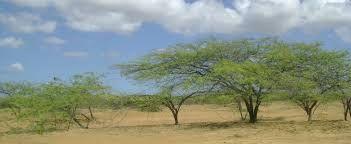 Personajes y Paisajes  Guajiros: 'El Trupio' arbusto  típico en La Guajira