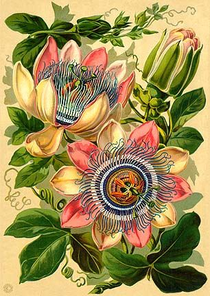 Passiflora x belotii 1824, Described as Passiflora Pfordti., Americana Trail