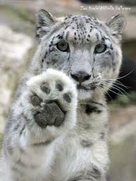 #Facts #Snow #leopards have large fur-covered paws that act as snowshoes & keep them warm,from sinking N2 snow.#Wildlife #Photography #Animals