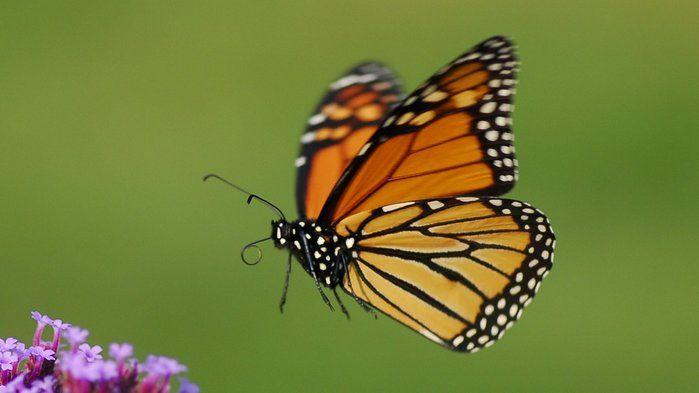 Monarch marathon: winging it to warmer weather - Science (2,3,4,6)