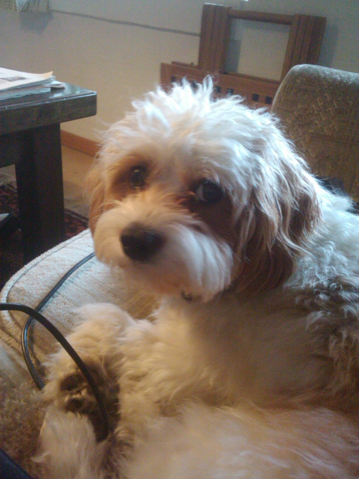 Cavapoo Dogs & Puppies for Sale in Kenya | PigiaMe