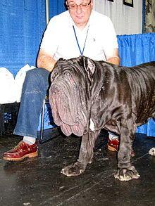 Mâtin napolitain. Le standard exige une peau lâche et plissée sur la face. Ce chien a la sienne si lâche et plissée que l'ouverture de ses yeux n'est même plus en face de ceux-ci !