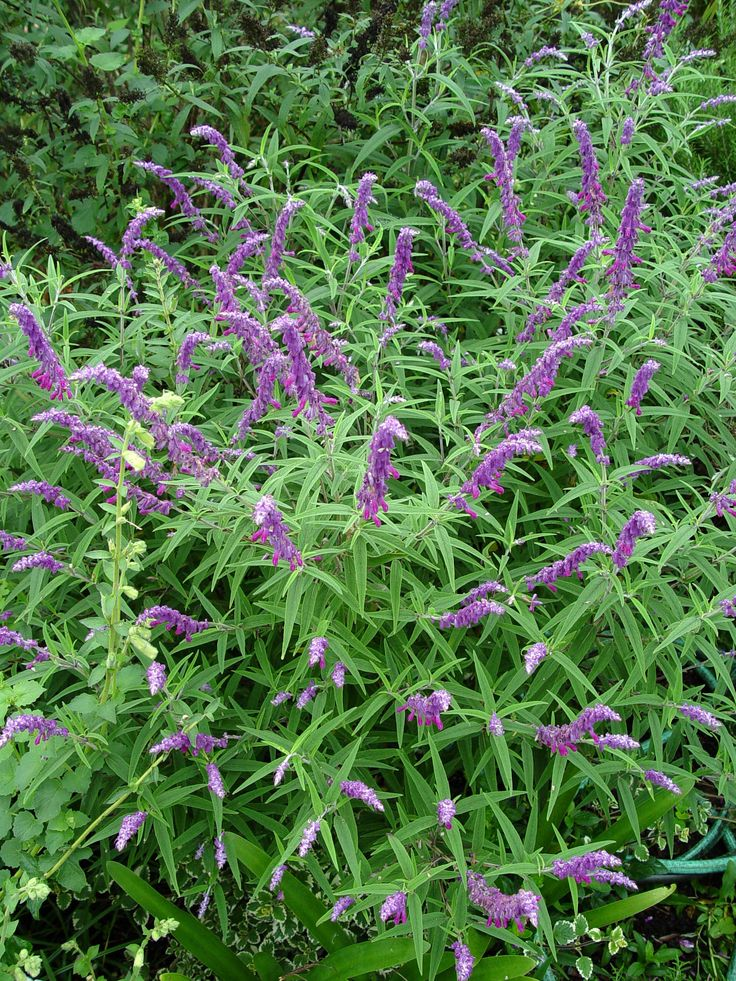 Mexican Bush Sage: Repels fleas, ticks and deer. Is also FIRE RESISTANT and can help protect your home.