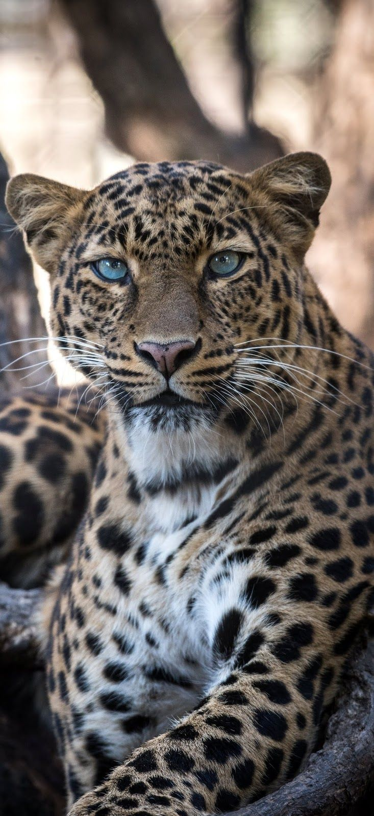 Porträt eines Jaguars – #animalswild #of a #jaguar # portrait