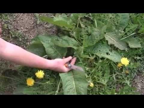 Vidéo: Les plantes sauvages comestibles et leurs bienfaits (partie 1) | Natouleblog