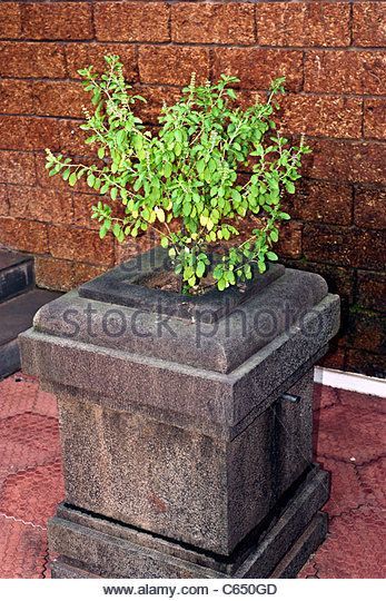 tulsi or  Holy Basil plant on a stone carved stand  special container - Stock Image