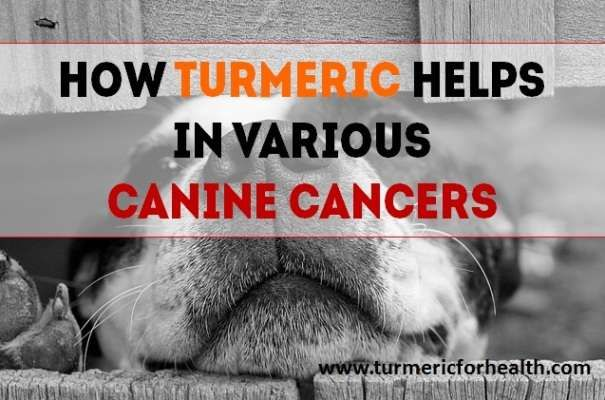 Canine cancer is the number one cause of deaths in older dogs. Like human cancer, even canine cancer is characterised by abnormal growth of cells within or on the body.  Unlike normal cells, cancerous cells don't die, they continue to grow and can even spread into the tissue of surrounding organs.
