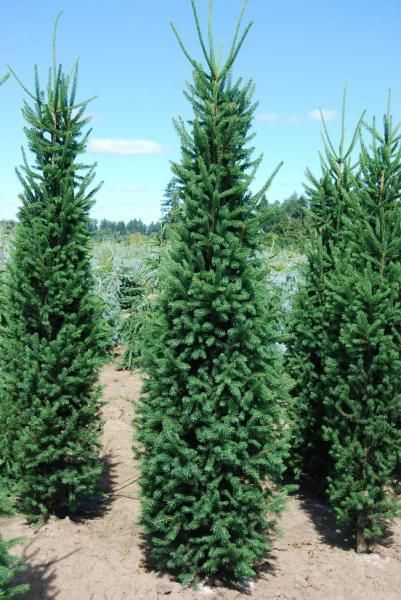 The 25 Best Norway Spruce Ideas On Pinterest Norway Spruce Tree Weeping Evergreen Trees And