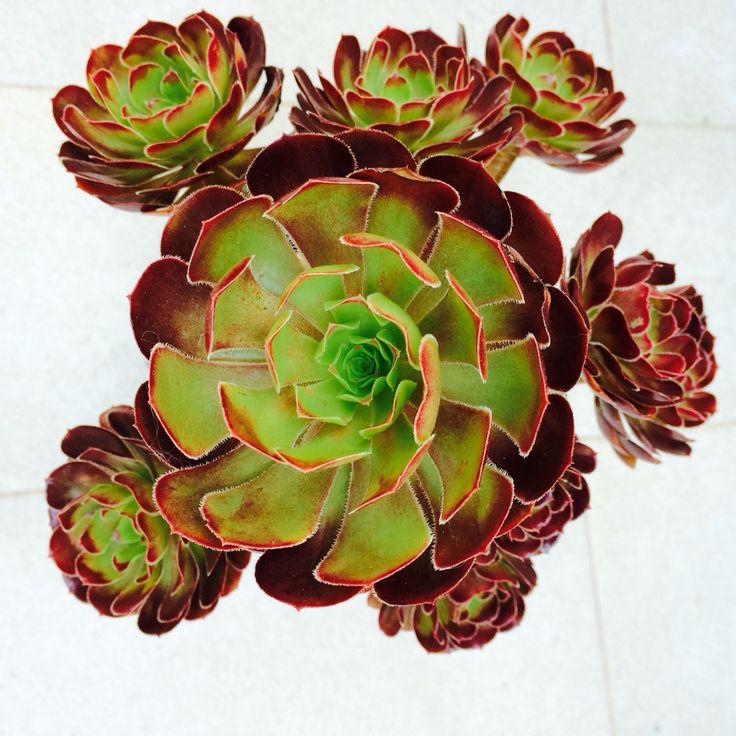 Aeonium arboreum var atropurpureum  Sally  Piante