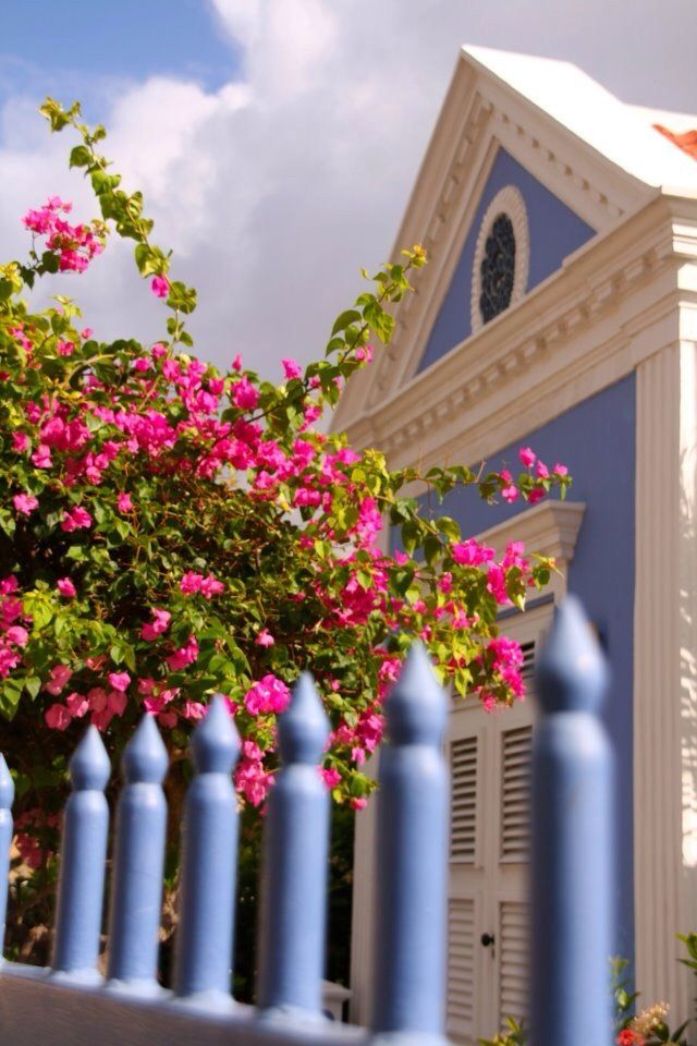 Bouiganville in Curacao