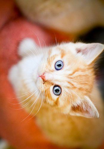 Cute Little Kitten, looks just like My Rex when he was a kitten.Follow me at http://www.pinterest.com/cattreehouse/