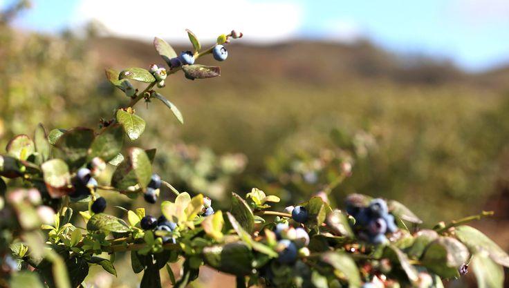 Blueberry Varieties
