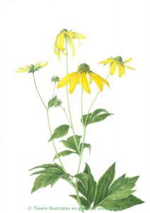 Rudbeckia scan H - Botanische illustratie van Gerda van de Berg.