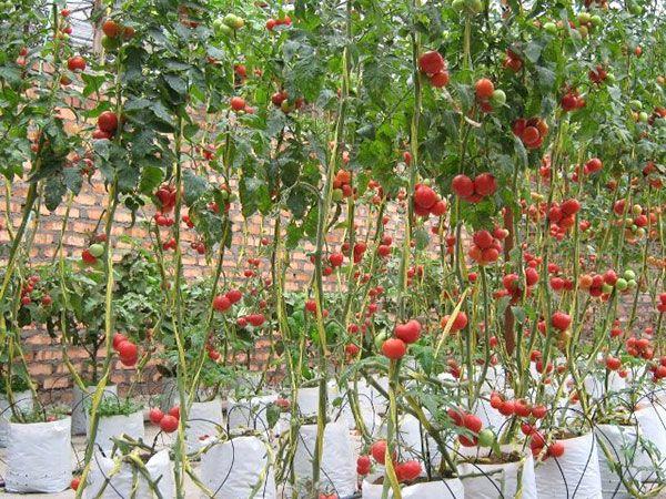 Tomateiros cultivados em sacos plásticos