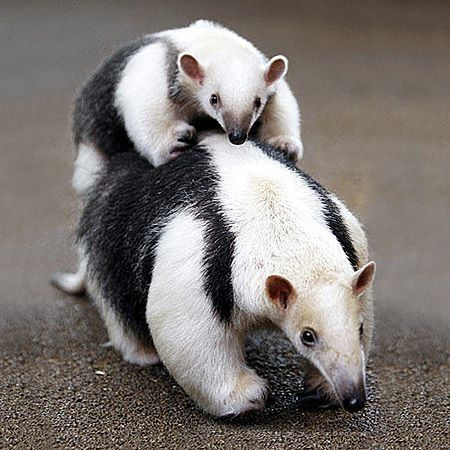 Anteater mamma and baby