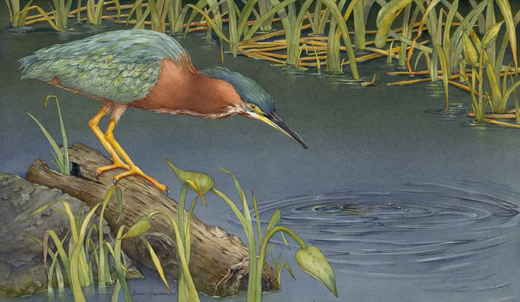 "Second Place winner of ""Nature"" Art Call Barbara Groenteman - USA  Title: High Hopes (Green-Heron) Medium: Transparent Watercolor Size: 26"" x 17"""