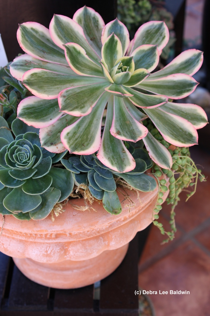 206 best images about succulents i have on pinterest gardens arizona cactus and donkeys - Succulent container gardens debra lee baldwin ...