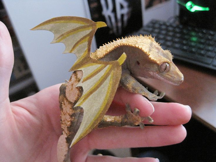 just hangin' out with my crested gecko BABY DRAGON