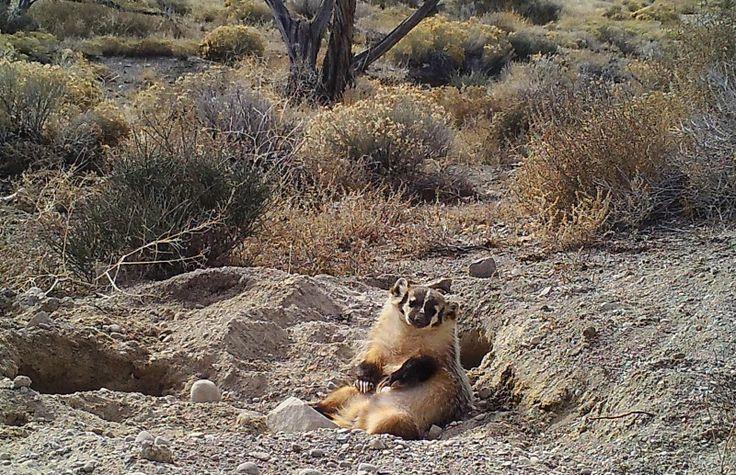 Armadilhas fotográficas da Universidade de Utah capturaram uma cena insólita: um texugo-americano a enterrar a carcaça de uma vaca sozinho.