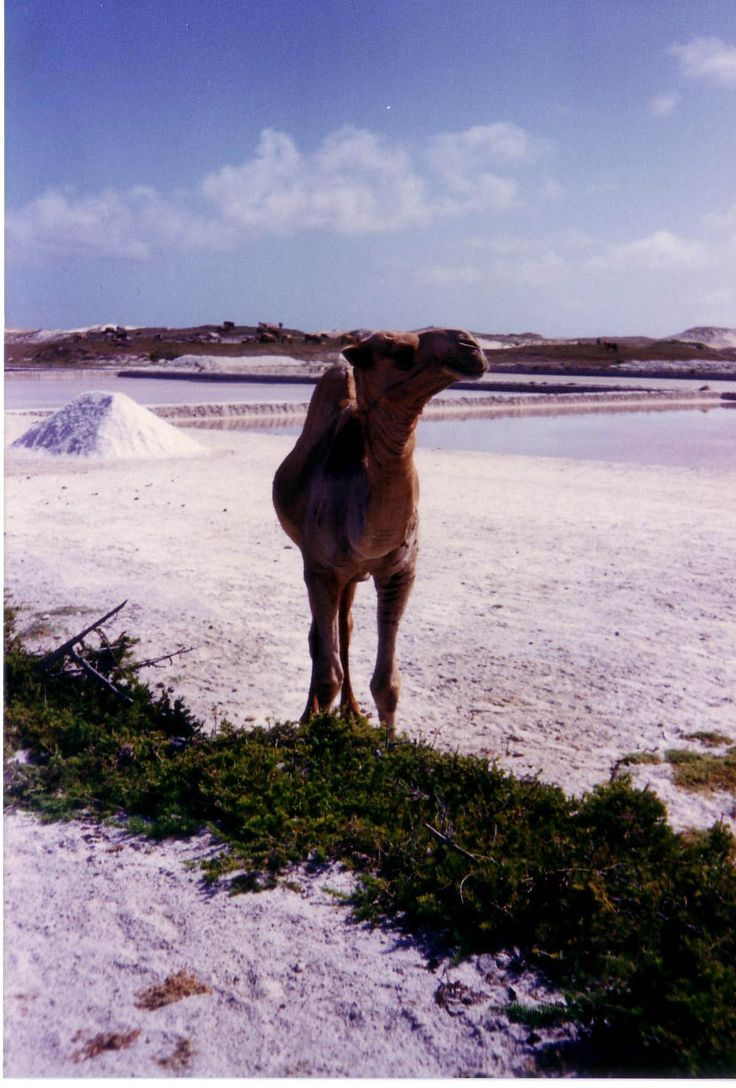 Camel, foto fabiovincenti.