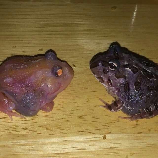 55 Pacman Frogs ideas | pacman frog, pacman, amphibians