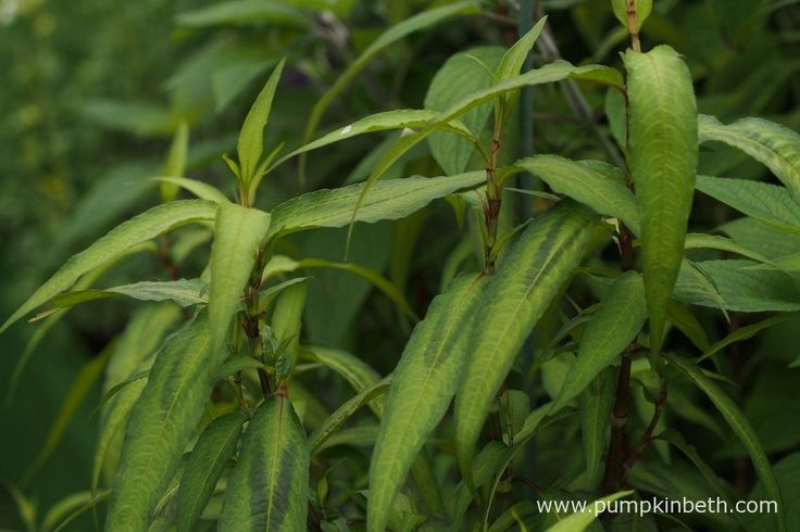 Persicaria odorata, commonly known as Vietnamese coriander, is a tender herb…