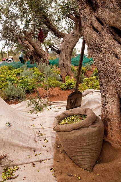 Olive harvesting Messinia, Peloponnese, Greece