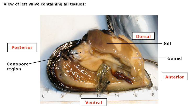 Blue Mussel Anatomy