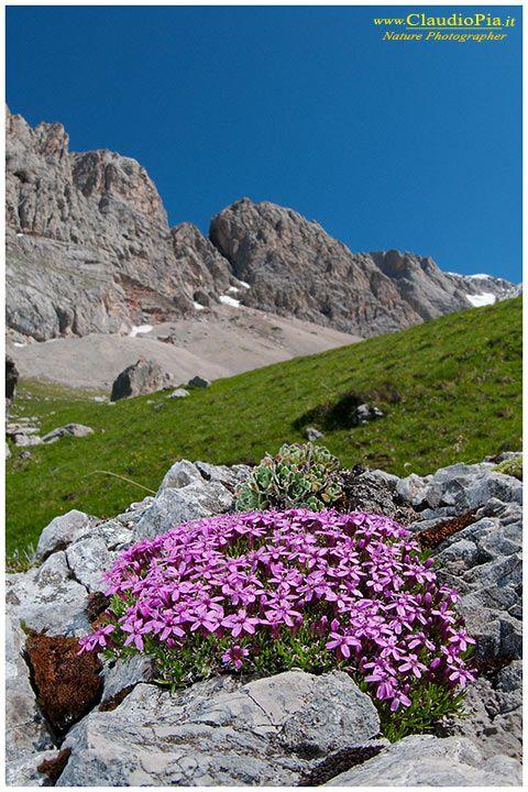 Silene acaulis, fiori di montagna, alpini, fotografia, foto, alpine flowers.jpg
