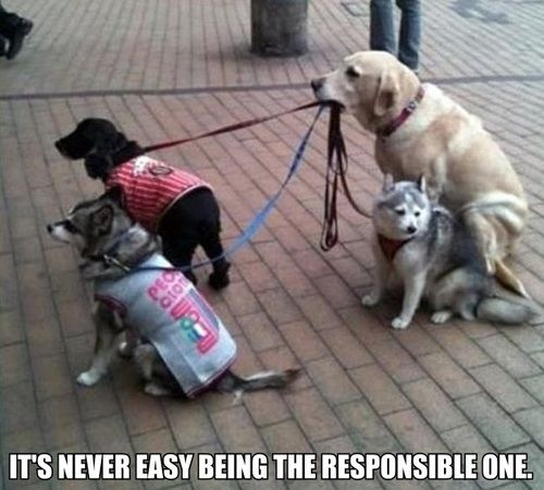 Its Never Easy Being the Responsible One :D: Labs, Puppies, Walks, Friends, Dogs Walker, Doggies, Pet, Funny, Animal