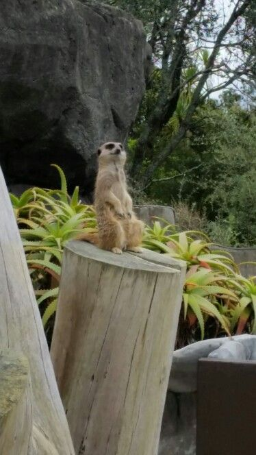 Meerkat on the lookout at Auckland zoo