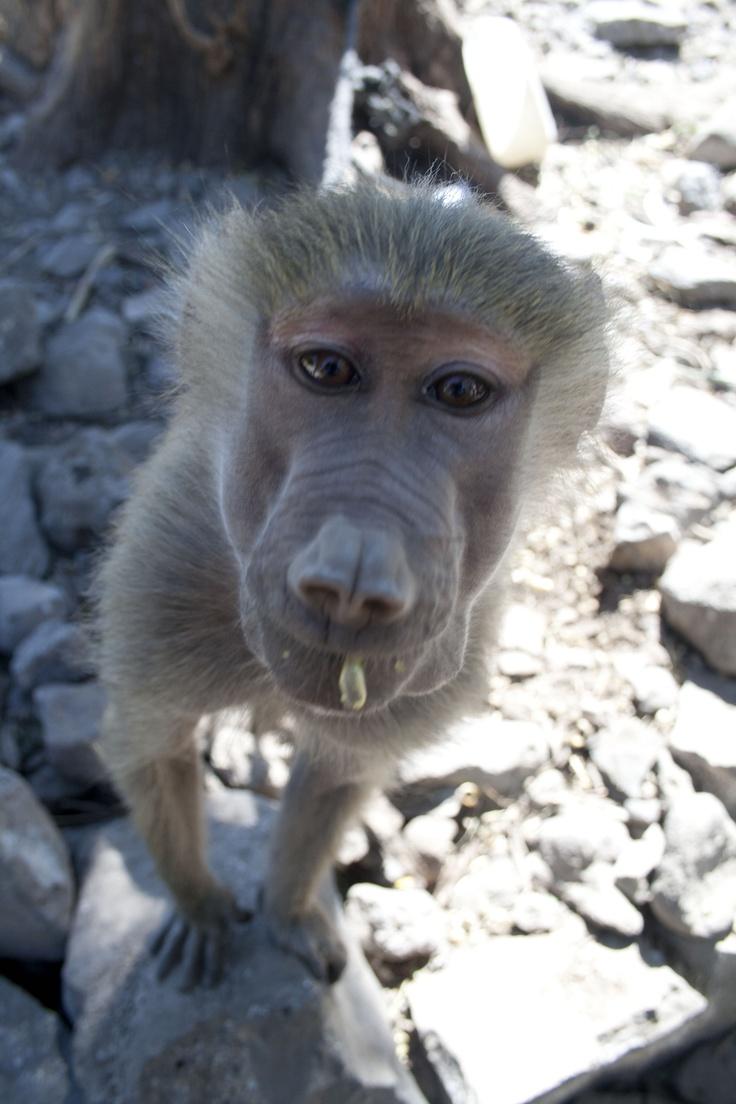 Monkey at Dikhil (Gibuti)