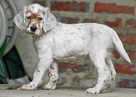 Orange Belton English Setter puppy