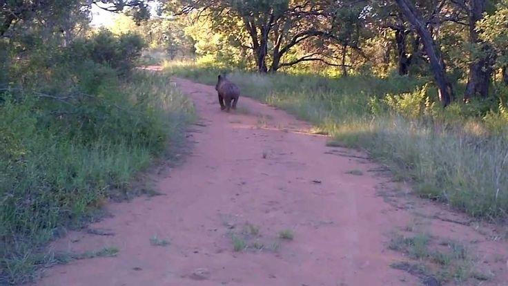 Rhino calf Ntombi running just for the fun of it