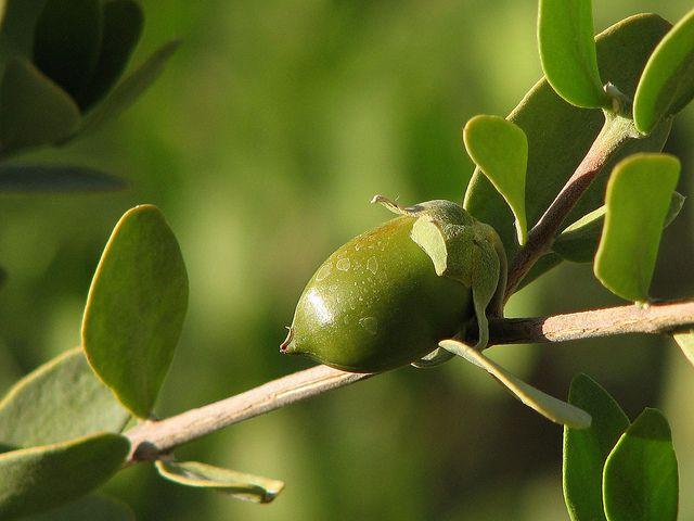 Jojoba olie wordt uit de Jojoba struik gewonnen. Jojoba olie heeft als eigenschap dat ze zeer snel diep in de huid dringt. Ze verzorgt en voedt de huid en maakt haar zacht als zijde. De verzorgende jojoba olie maakt ook het haar sterker, mooier en laat het stralen van vitaliteit. Jojoba olie voedt de epidermis en stimuleert de vochtopname door de cellen. Deze wordt o.a. in de Phyto 5 Ageless La Cure Peeling met natuurlijke AHA gebruikt.