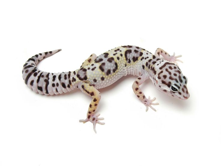 17 Best Ideas About Leopard Geckos On Pinterest